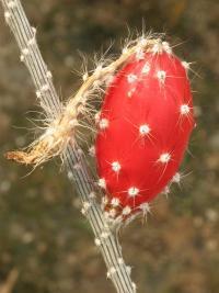 Red de Herbarios Mexicanos - Peniocereus striatus