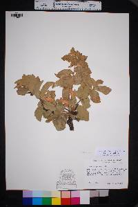 Quercus chihuahuensis image